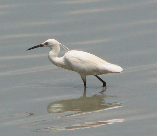 The Egret.