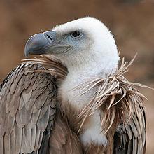 A vulture.