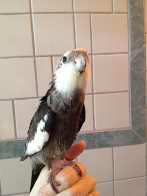 I'm not sure why you're so eager to shower me, Mom - other cockatiels have bright orange cheek patches and no one is trying to wash them off!