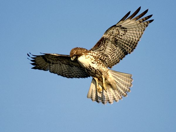"A ""red-tailed hawk"" - and clearly a hungry one (image courtesy of National Geographic)."