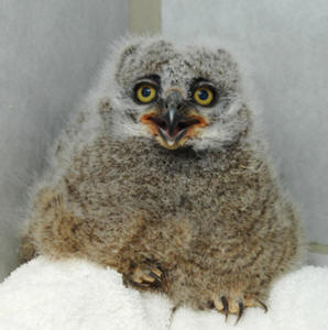 What Bubo looked like as a chick (photo courtesy of WSU)