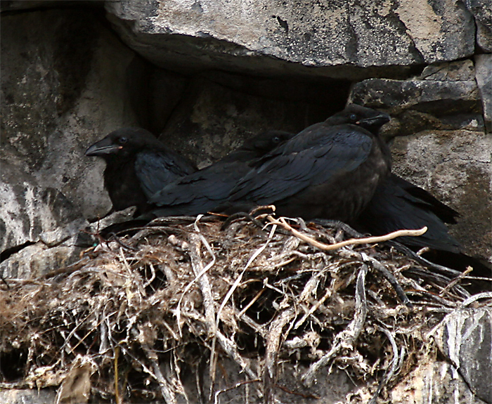 Ravens nesting.