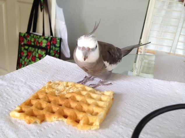 The ferocious waffle hawk approaches the prey with great care.