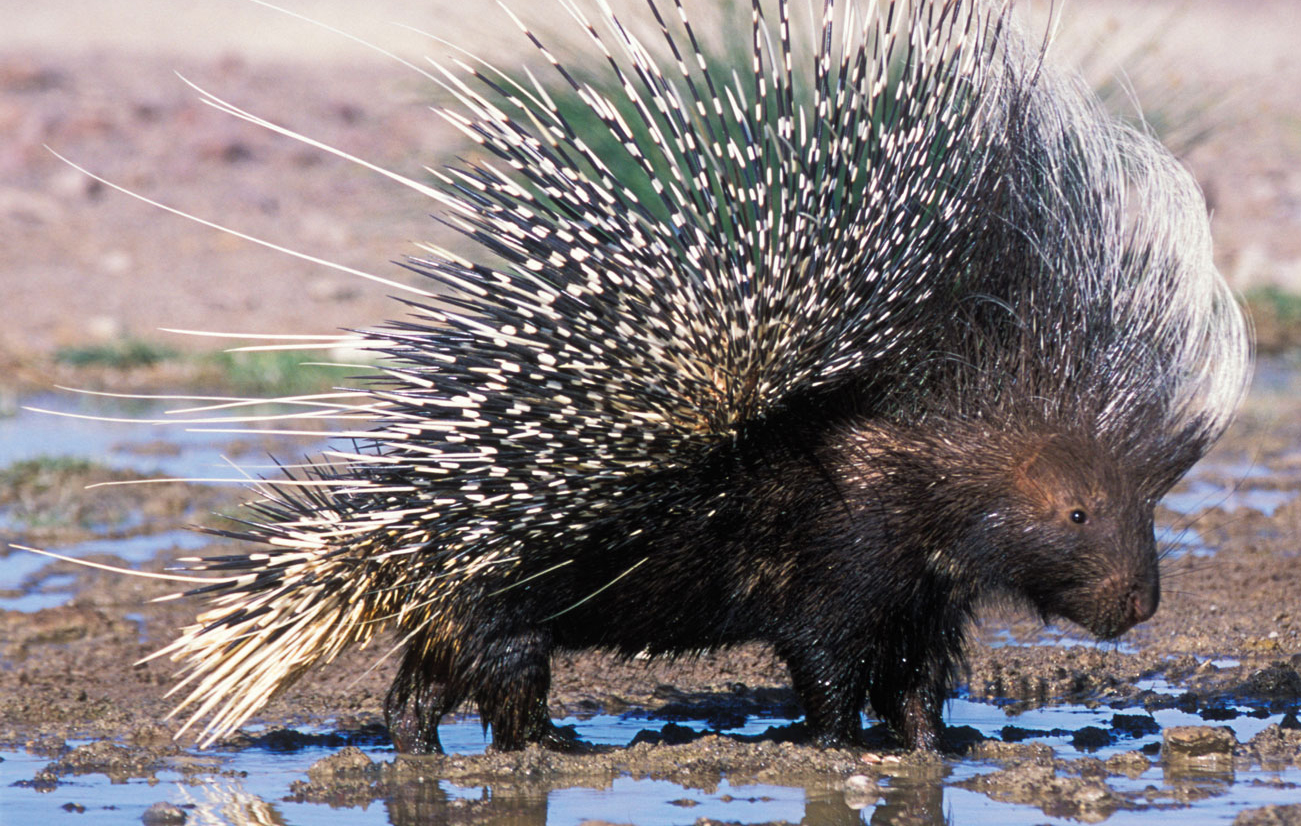 "A porcupine, displaying one of many ""fashion forward"" looks based on that rarest of style accessories - spiny quills."