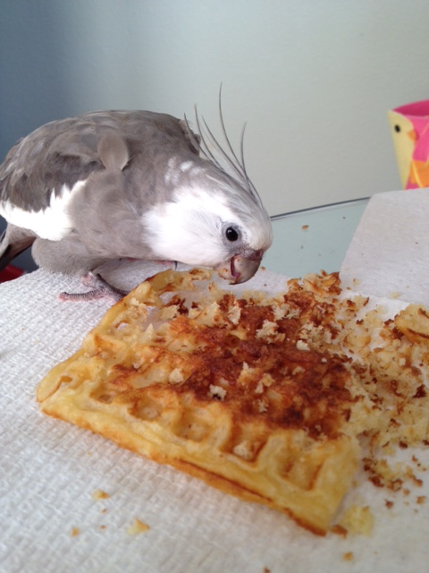 "The unstoppable ""Waffle Terminator"" in the process of terminating his prey."
