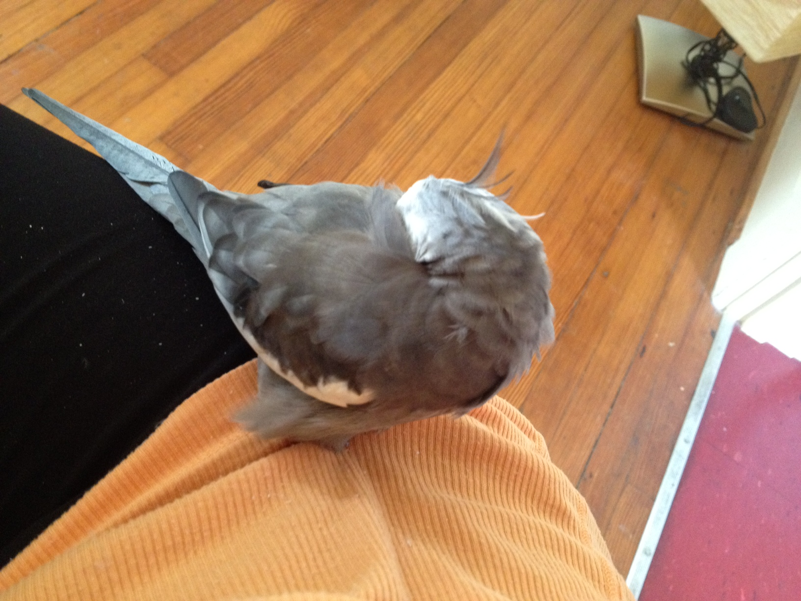 """Here, the feathery celebrity celebrates """"Labor Day"""" in one of his favorite resting positions, the """"hip nap."""""""