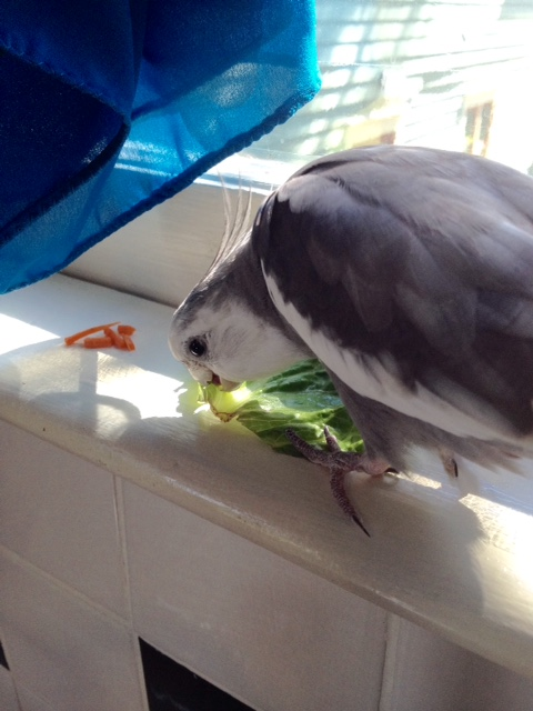 Nom nom nom. This lettuce leaf was easy to bring down - large and slow and tasty.