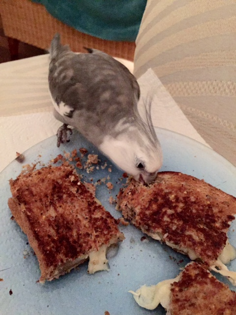 "Step 2: offer delicious grilled cheese to the flock member with the most feathers (aka the ""alpha flock member) for taste-testing."