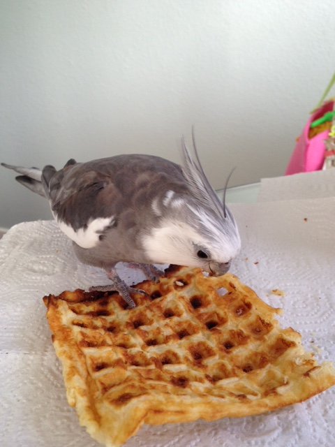 As I coolly and casually grip the waffle firmly with my talons.