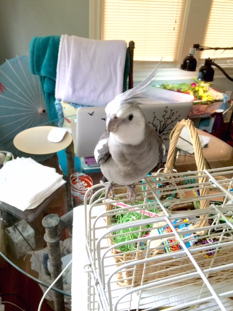 Hi Mom. Guess why I'm standing here, perched on the very corner of my cage top?