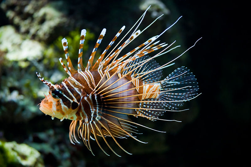 A Lion Fish (Pterois antennata) about to sneak up on its prey (image courtesy of Wikipedia).