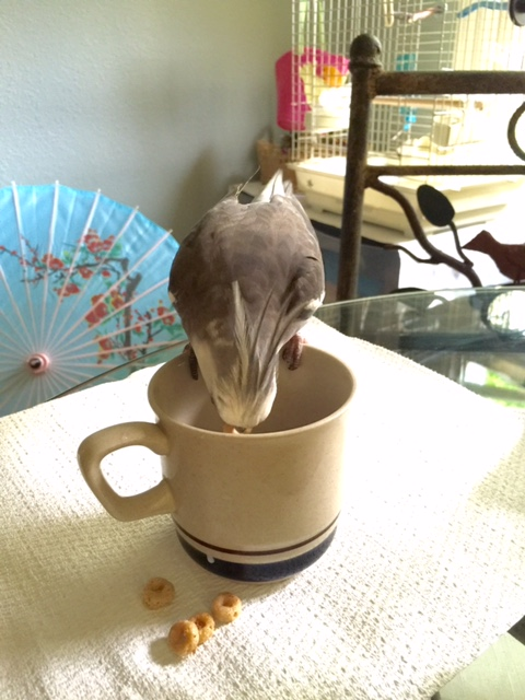 From here, the bobber's role becomes to bob their head down into the bowl and nab a Cheerio with their sharp pointed beak.
