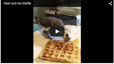 The world-famous waffle gourmand, Pearl Cutts, eats a freshly toasted waffle.