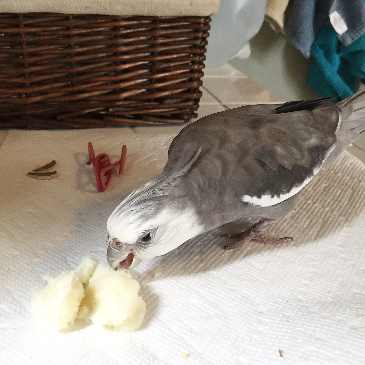 A certainly feathery diner digs in to a delicious portion of breakfast mashed potatoes.