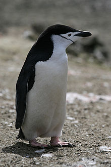 A chinstrap penguin displays both cuteness and craftiness (image courtesy of Wikipedia).