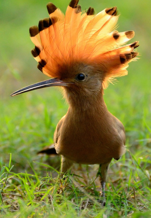 A hoopoe, crest unfurled. (image courtesy of National Geographic)