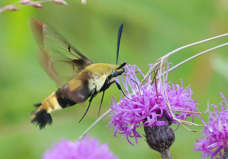 A hawk moth multi-tasks as it simultaneously sips nectar and pretends to be a bumblebee (image courtesy of flickr/wikimedia commons).