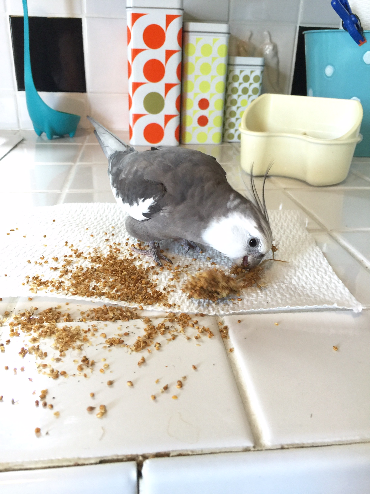 I can tell my mommy really loves me because she gives me millet and then encourages me to scatter it all across her clean counter!
