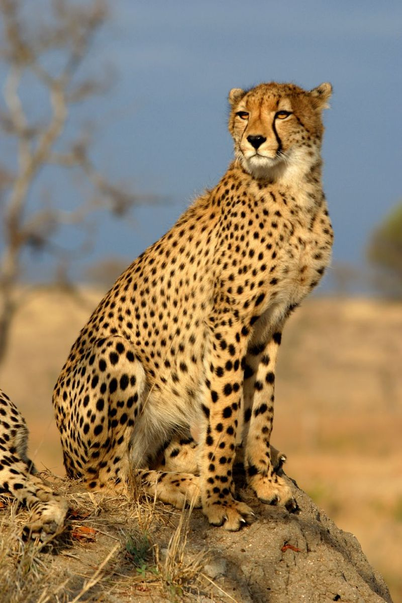 A cheetah, looking very ferocious and fierce (image courtesy of Wikipedia).