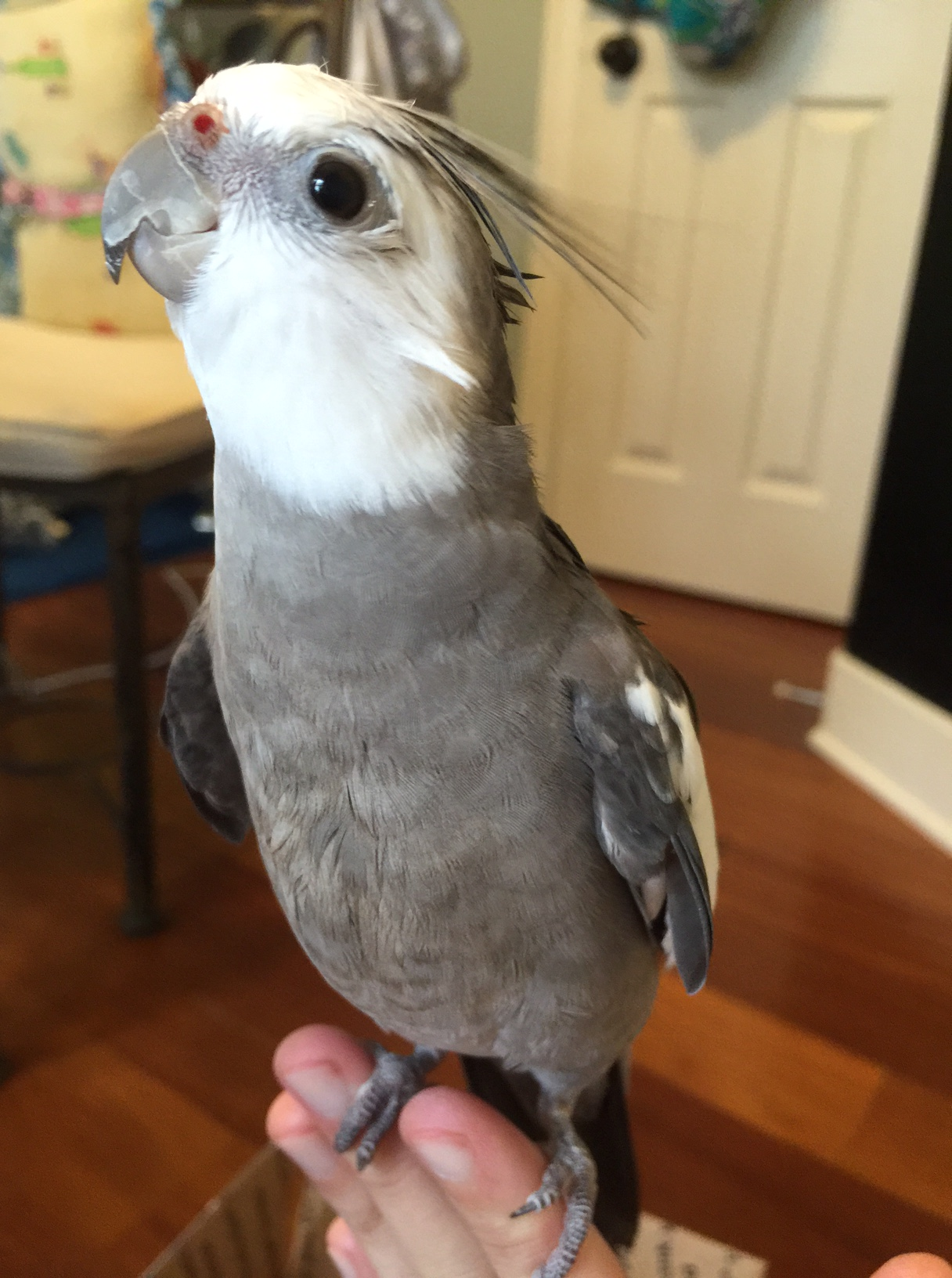 The Casa's resident Answer Bird shows of perfect grey and white (masculine) feathers.