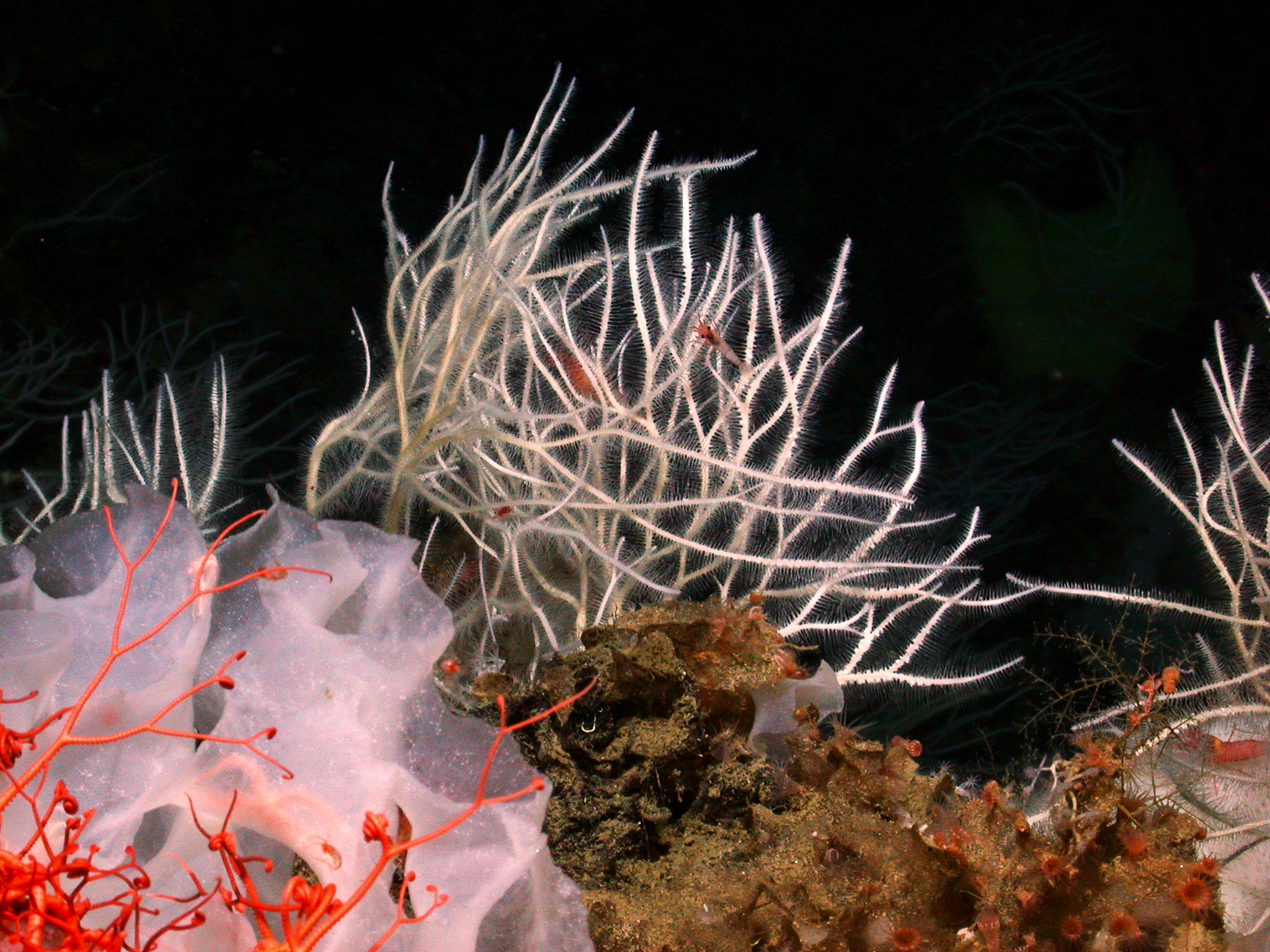 A soft, innocent looking sea sponge extends its tiny hooks in hopes of catching its dinner (image courtesy of National Geographic).