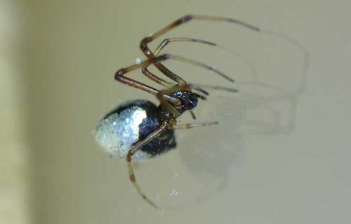 A dewdrop spider waits patiently to snag delicious prey. (image courtesy of bib.ge)