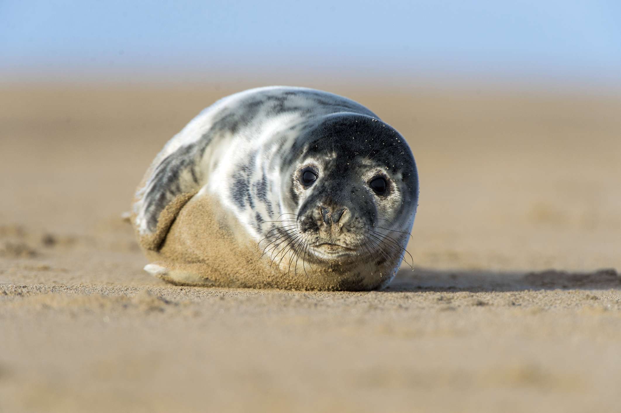 A gray seal, looking very cute as the paparazzi snap picture after picture.