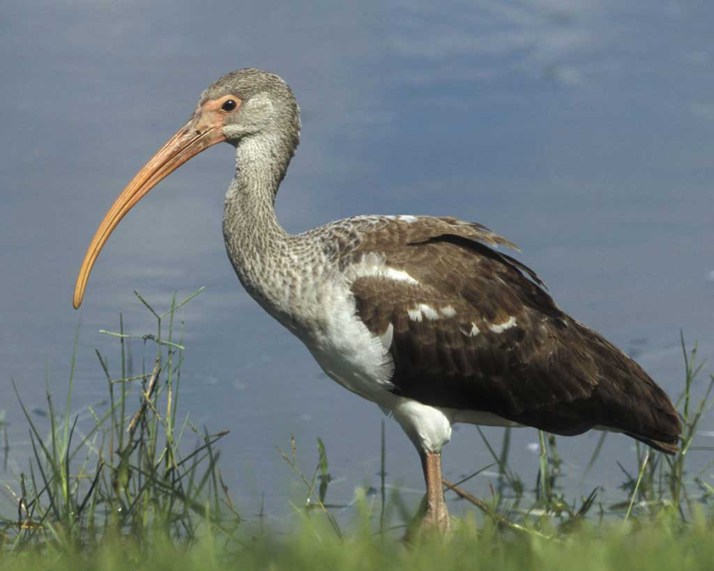 A young white ibis, preparing to have another bath/snack. -Image courtesy of Audobon