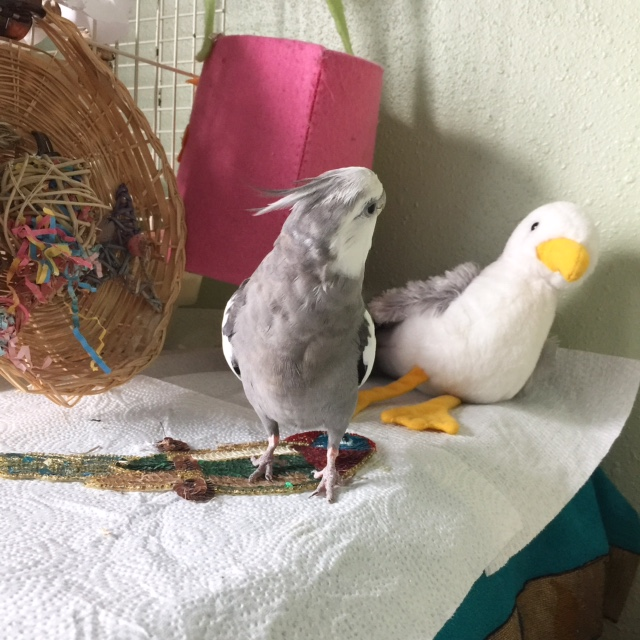 """Here, Pearl demonstrates """"glaring"""" to send a nest interloper packing quickly."""