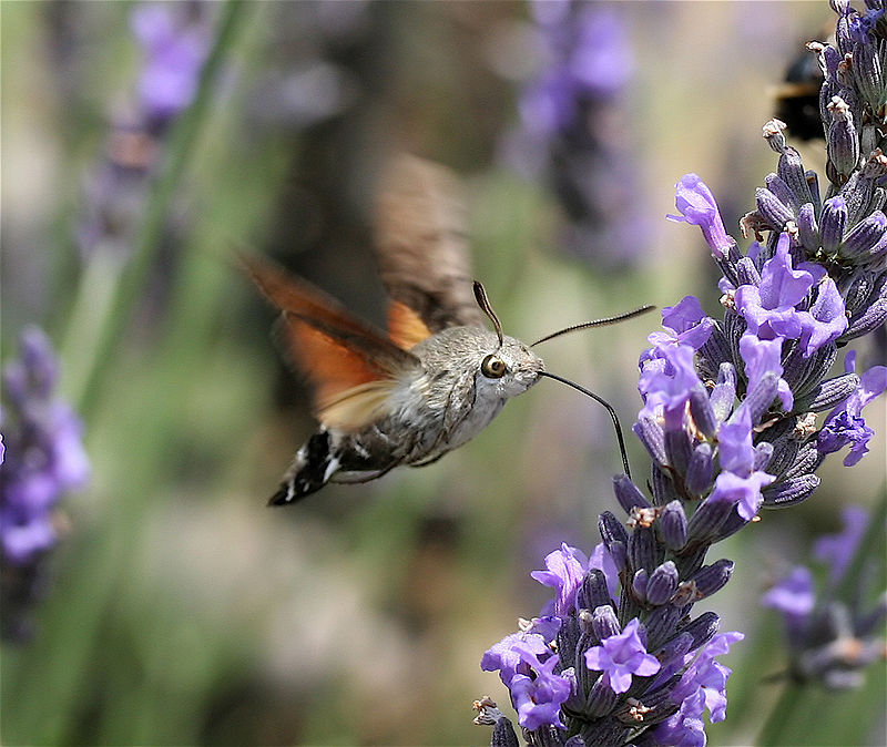 A hummingbird hawk-moth hums while he snacks. (image courtesy of wikipedia)