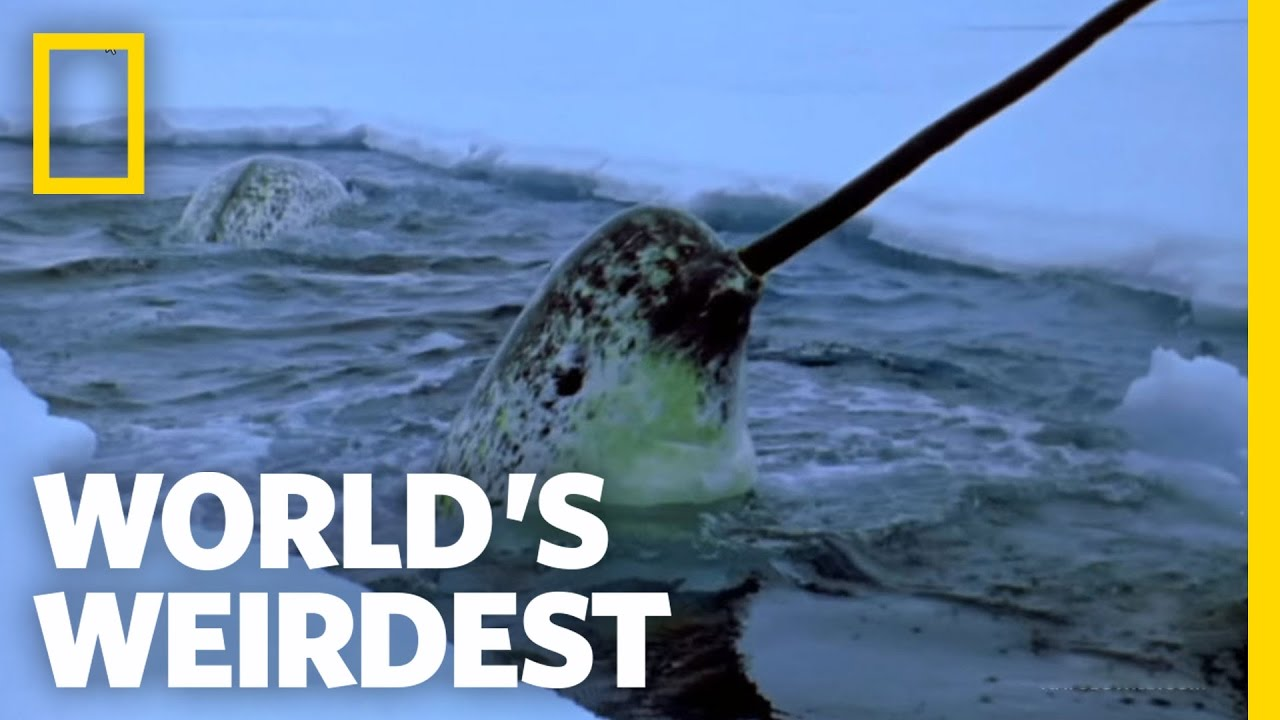 A narwhal shows off his manly, toothy tusk. (image courtesy of NatGeo)