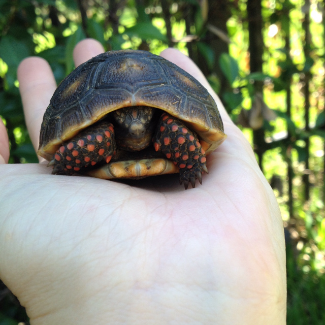 hatchling redfoot tortoise