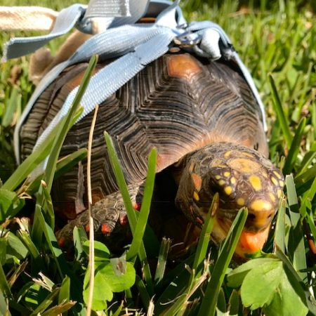 is clover safe for tortoises | Love & Feathers & Shells