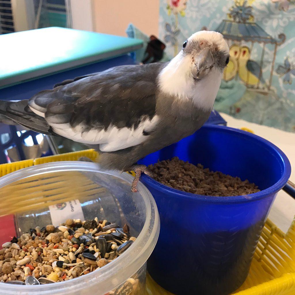 Cockatiel breakfast bowl 3