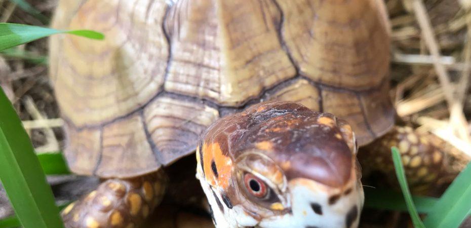 Box Turtle Up Close