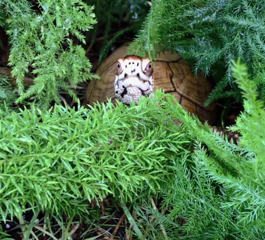 Box turtle in ferns