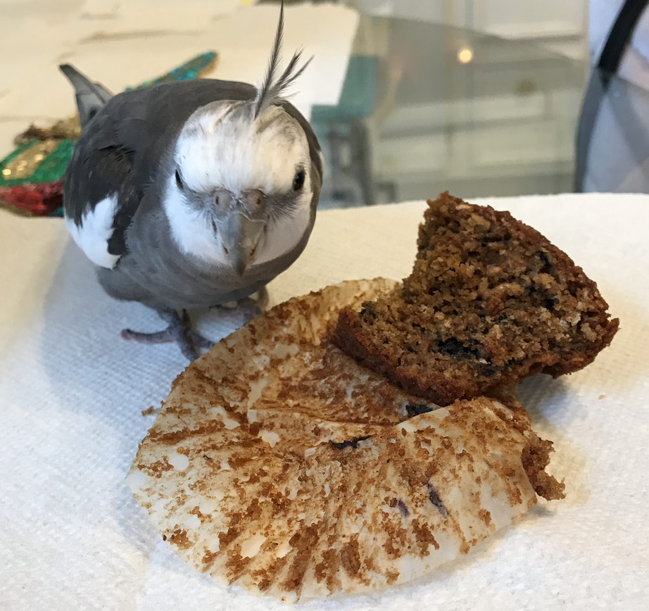 Cockatiel with muffin 1