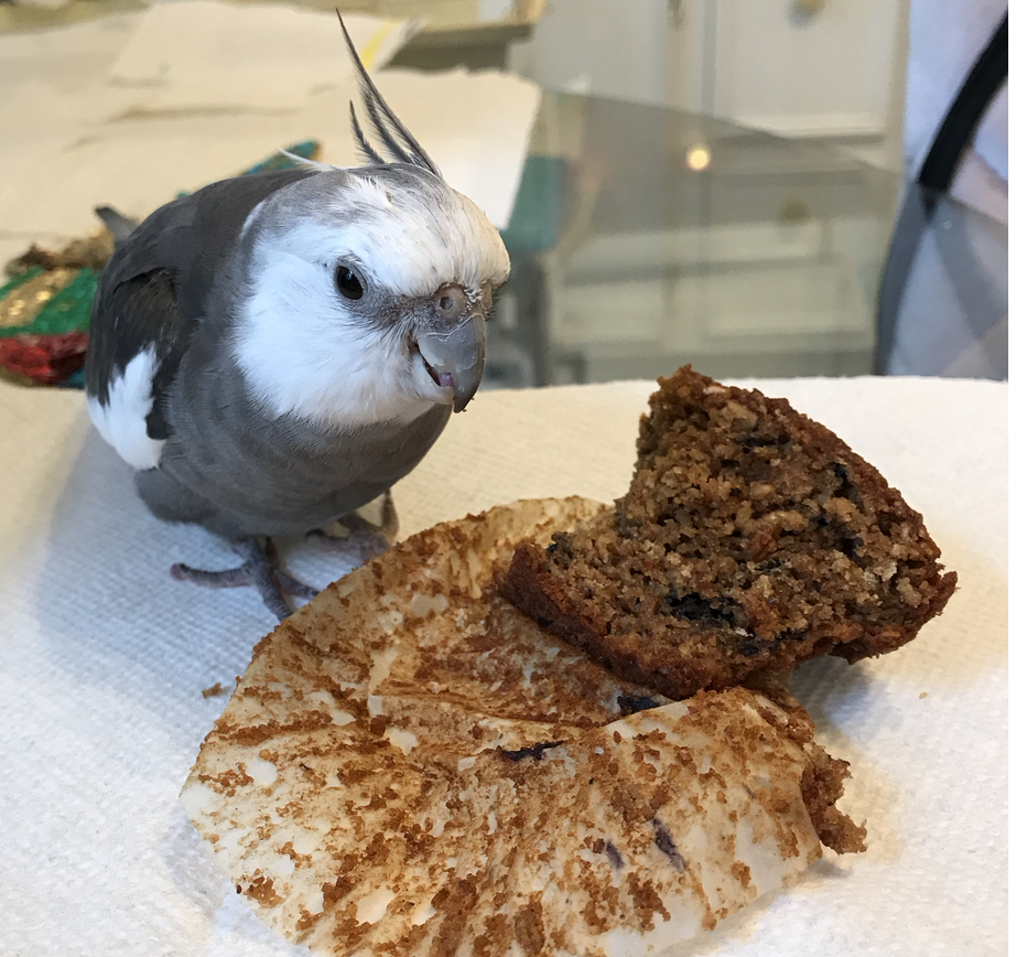 Cockatiel with muffin 2