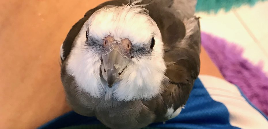 Cockatiel in mommy's lap