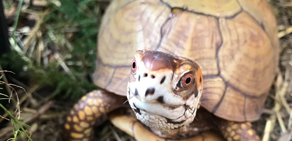 Box turtle with hay in mouth