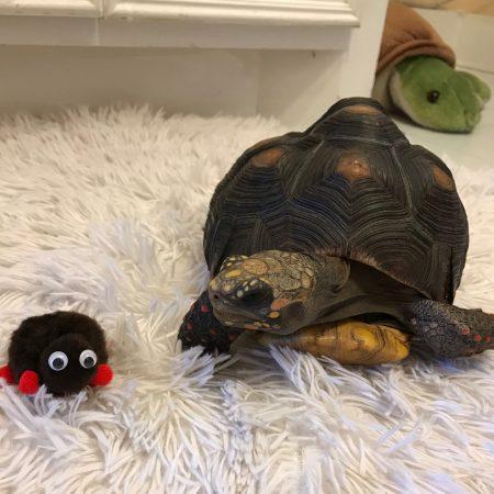 Tortoise weepul