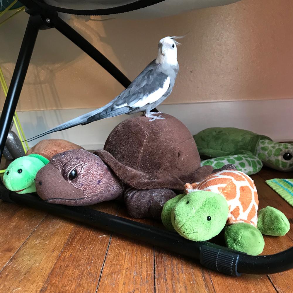 Cockatiel with tortoise stuffed animals