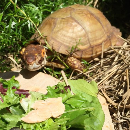 Box turtle eats salmon