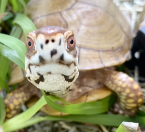 box turtle closeup