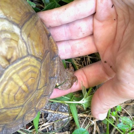3 toed box turtle feet