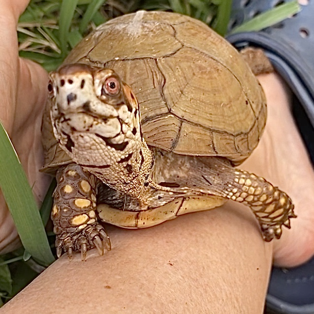 Box turtle front legs toes