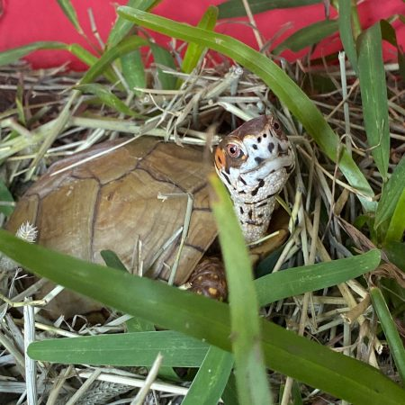 box turtle on hay pile