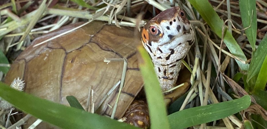 box turtle on hay pile