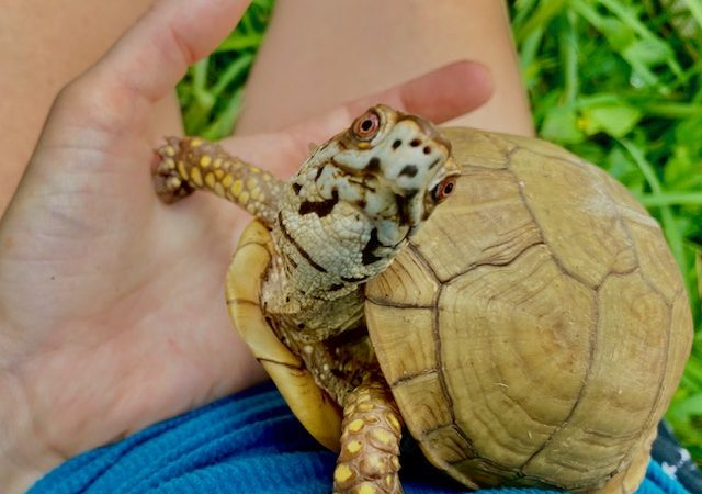 Rescued 3-toed box turtle