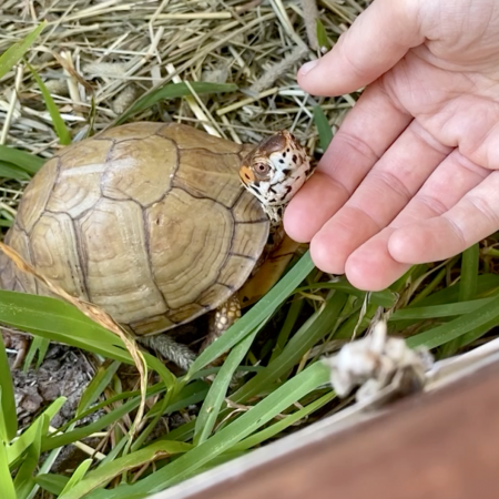 Box turtle socialization